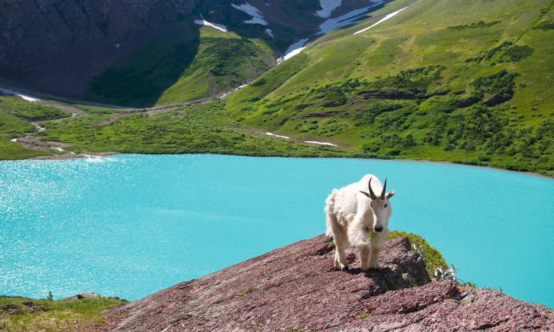 Glacier National Park Mountain Goat