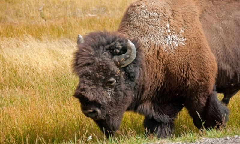 Bison Buffalo Wildlife